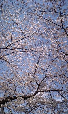 日本の色♪三番町の桜♪結城紬のご両人(^3^)/